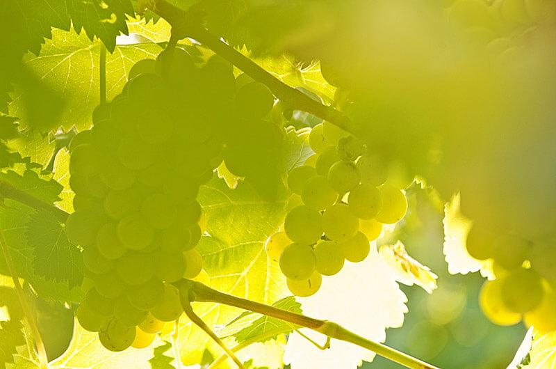 Posestvo Rouna, vinogradi